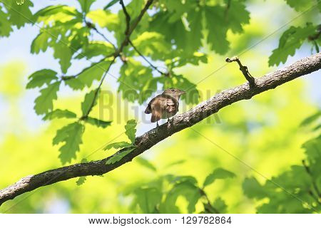 the bird is a Nightingale sitting on the branch of a young oak trees in early spring