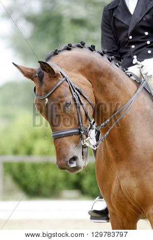 Braided mane for dressage sport horse during a dressage training outdoors