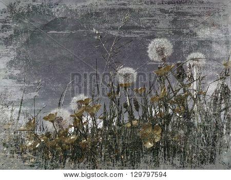 Dark moody grunge effect applied to dandelion clocks
