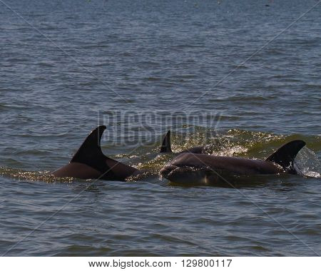 Dolphins and small whale in the Potomac River, Virginia