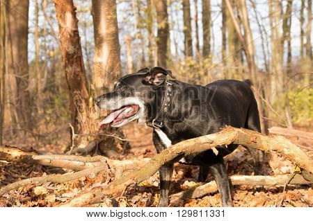 Black american stafford shire posing in a autumn colored forest