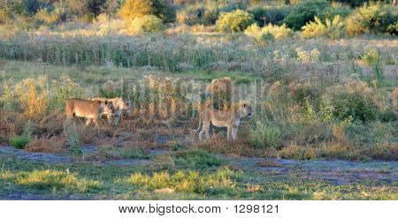 Lioness Pride At Sunset