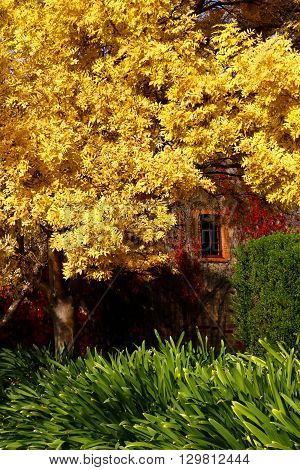 Autumn sun highlights the gold in the leaves within this urban setting in South Australia