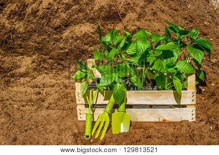 Wooden Box With  Young Seedling  Black Earth