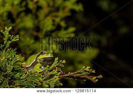 A Pine Barrens Treefrog in a cedar tree during breeding season.