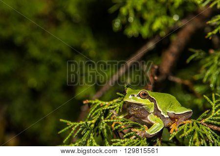 A Pine Barrens Treefrog climbing in a cedar tree.