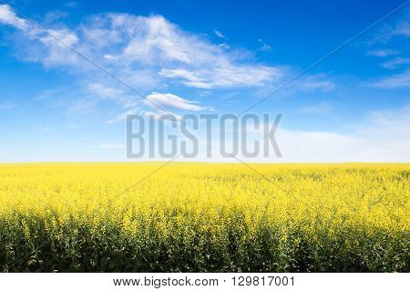 Yellow Field Against Blue Cloudy Sky With Copy Space