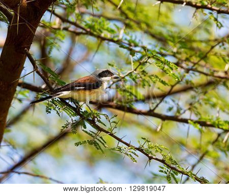 The Grey Backed shrike is a typical shrike, favouring dry open habitats and found perched prominently atop a bush or on a wire. The dark mask through the eye is broad and covers the forehead.