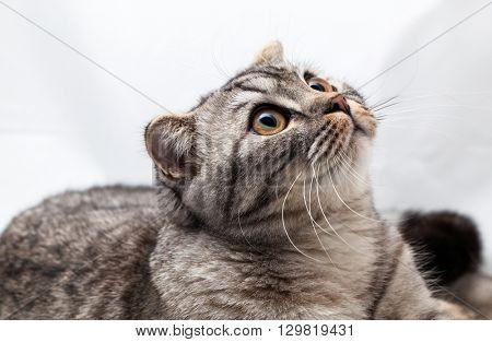 Cat Scottish fold in studio