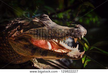 Snapshoot of crocodile. Caiman yacare - small-mid sized crocodilian from alligator family. Caiman crocodilus, reptile head with open jaws