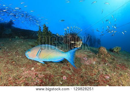 Parrotfish and scuba divers on ocean reef