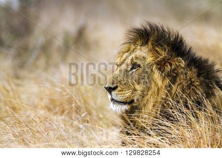 Specie Panthera leo family of felidae, portrait of a male lion in savannah, Kurger Park, South Africa