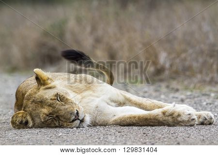 Specie panthera leo family of felidae, lioness in the middle of the road in Kruger Park