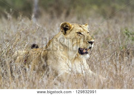 Specie panthera leo family of felidae,  portrait of an african lioness in kruger park, South Africa
