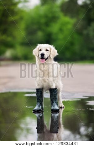 happy golden retriever dog standing in a puddle in rain boots