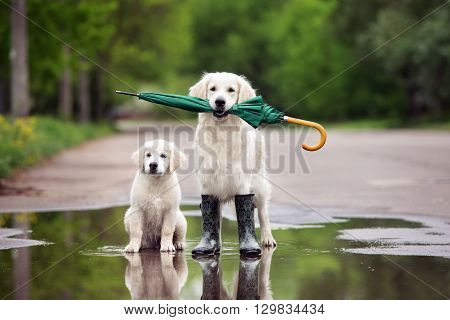 golden retriever dog and puppy in rain boots holding an umbrella