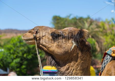 Closeup to a Camel head in India during the day