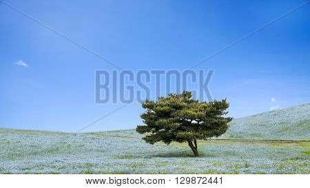 Imageing Of Mountain, Tree And Nemophila At Hitachi Seaside Park In Spring With Blue Sky At Ibaraki,