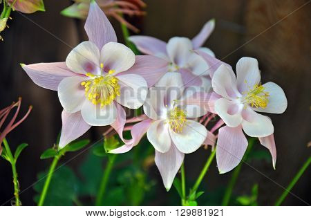 Beautiful pink and white columbine flowers in spring