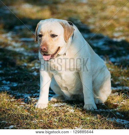 Fat White Labrador Dog Sit Outdoor. Spring Season