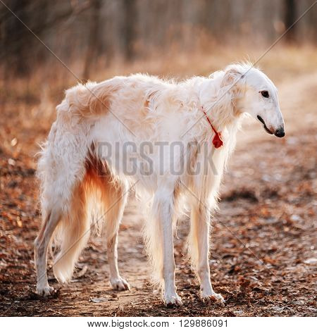White Borzoi, Hunting Dog In Spring Autumn Forest.