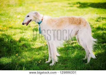 White Gazehound Hunting Dog Staying Outdoor In Summer Meadow Green Grass.