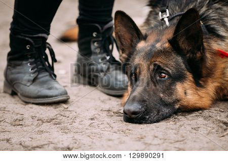 Close Up Sad Brown German Shepherd Dog Lying On Ground Near Woman Feet In Shoes. Alsatian Wolf Dog.