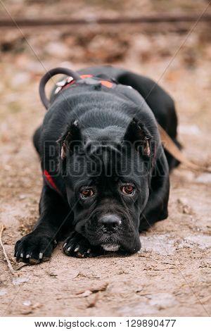 Beautiful Black Young Cane Corso Puppy Dog Sit Outdoors. Big Dog Breeds. Close Up