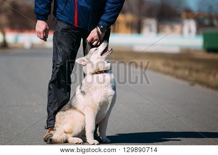 Young Funny White And Gray Husky Puppy Dog Sit On Road Outdoor Near Man