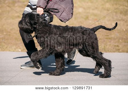 Black Giant Schnauzer Or Riesenschnauzer Dog Runs Outdoor Near Woman
