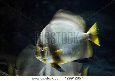 Orbicular batfish (Platax orbicularis). Wild life animal.