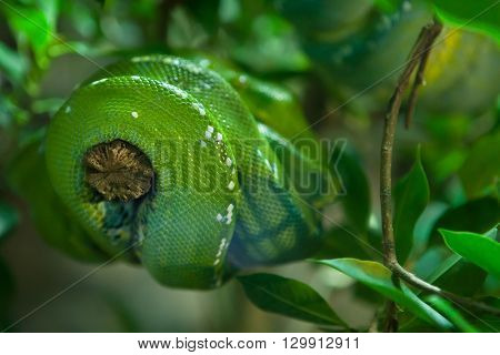 Green tree python (Morelia viridis). Wild life animal.