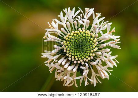 A white wild flowerin full blooom during spring