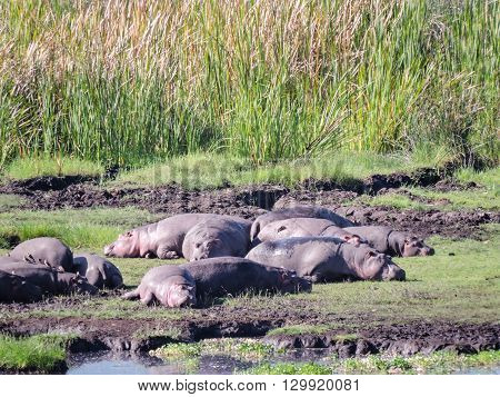 Hippos sunning next to a pond in the Ngorongoro Crater.