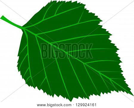 birch , Betula verrucosa , isolated birch leaf,