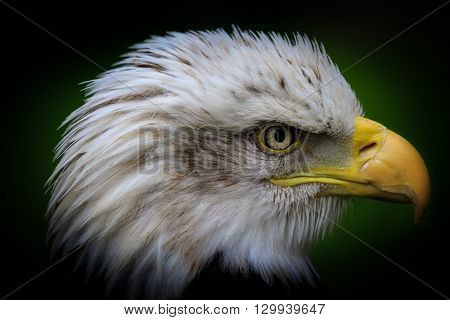 Bald eagle (Haliaeetus leucocephalus) Close-up  low key