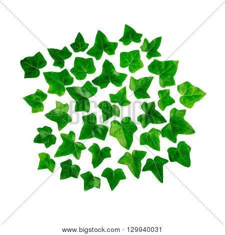 Green bright pattern made of ivy leaf. Ornament of green leaves ivy isolated on white background.