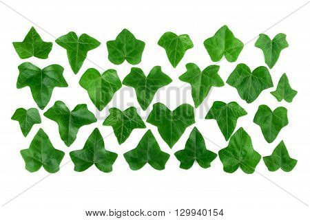 Pattern row of green ivy leaves isolated on white background. Flat lay.