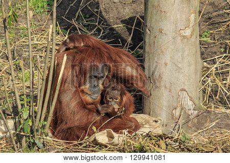 Sumatran orangutang mother and child sitting together