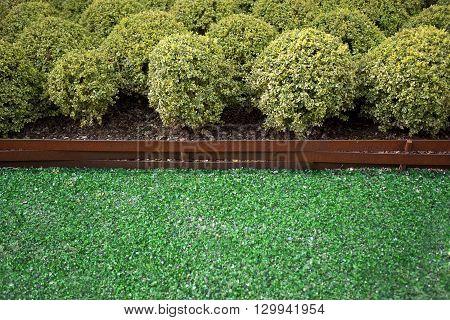Boxwood In A Garden