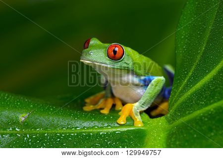 Red-Eyed Amazon Tree Frog (Agalychnis Callidryas) on large palm leaf