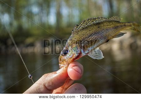 small fish ruff in the hand on shore at summer