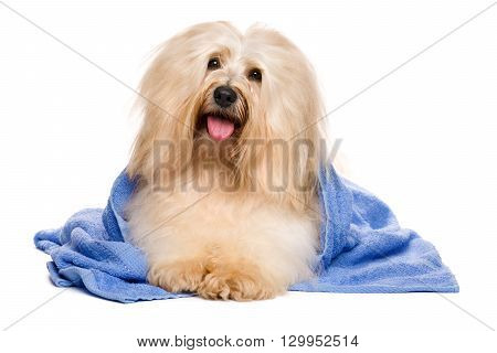 Beautiful happy reddish havanese dog after bath is lying wrapped in a blue towel and keeps his head at an angle isolated on white background