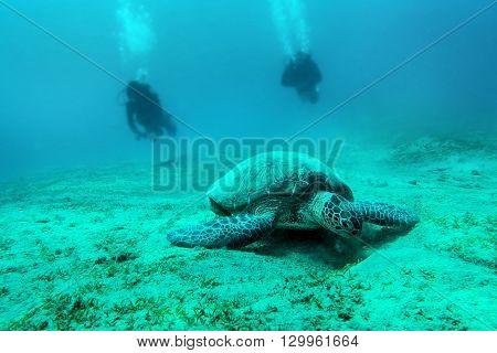 Loggerhead sea turtle Caretta caretta - Red Sea