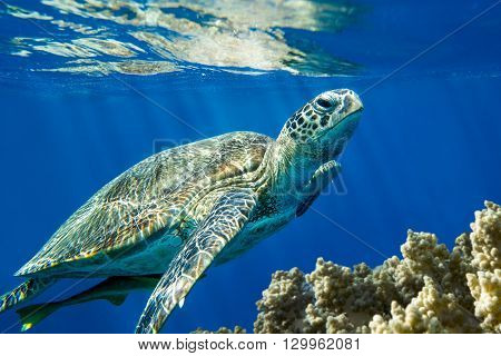 Loggerhead sea turtle Caretta caretta on the coral reef- Red Sea