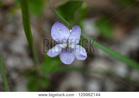 Flower of the common dog-violet Viola riviniana