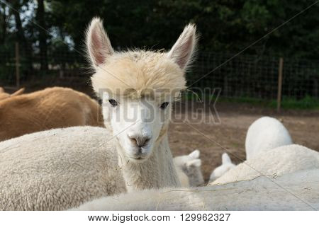 curious white alpaca in captivity looking at the photographer