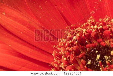 Close up shot of bright red gerbera