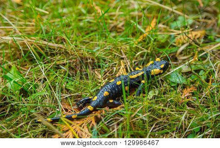 Fire Salamander crawling in the grass. The grass is wet from rain. Photographed close-up.