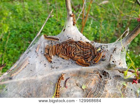A tent nest full of Eastern Tent Caterpillars nestled in the crook of a tree in the woods.
